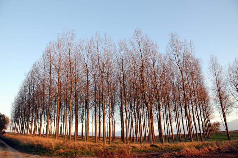 Copse at Sunset